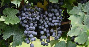 Uva cabernet sauvignon, para vinos tintos